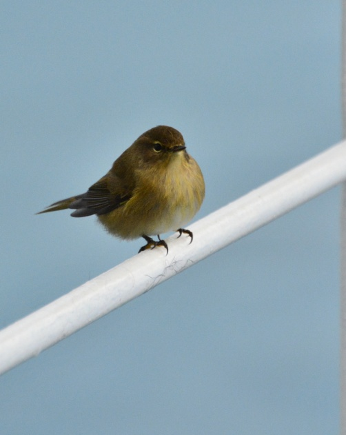 chiffchaff-on-ferry