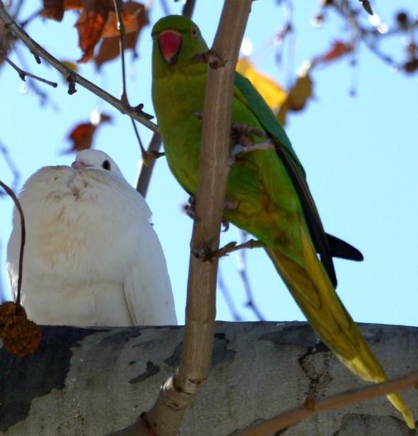 parakeetnpigeon